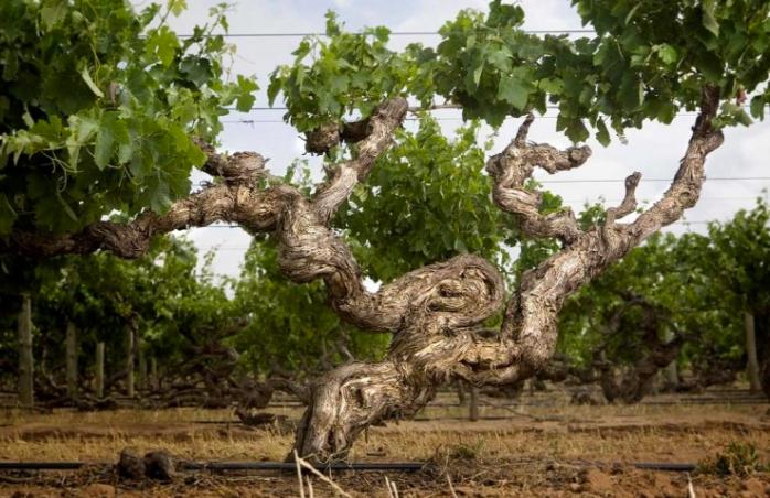 Kaesler Old Vine